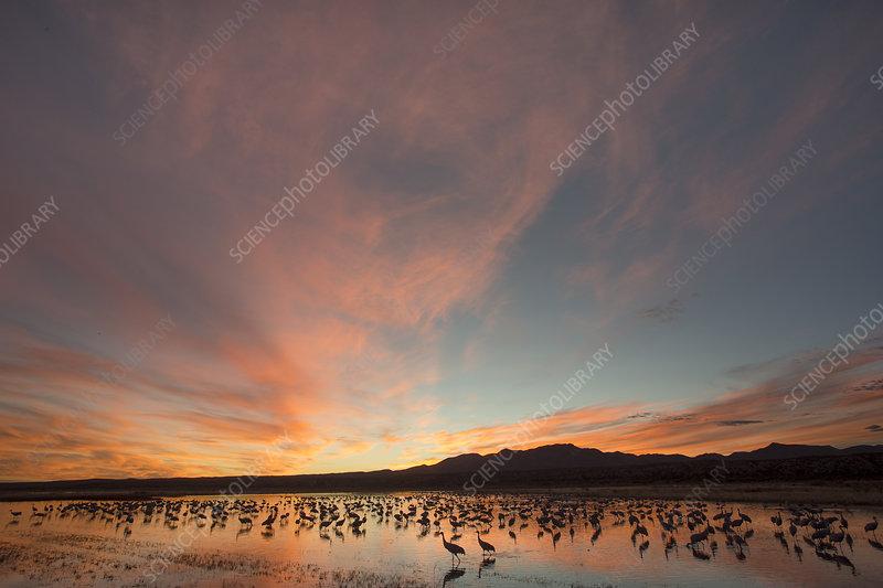 Sandhill Cranes roosting at dusk