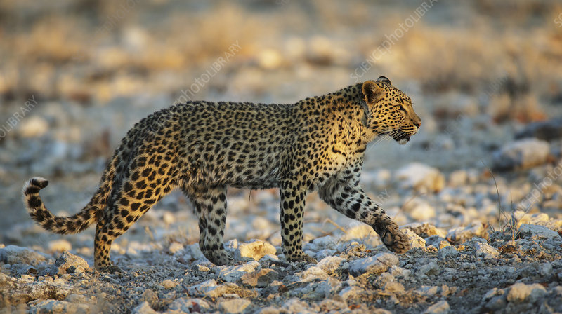 Leopard walking, Etosha National Park, Namibia