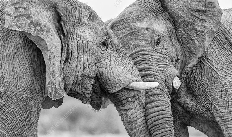 African elephant two bulls, head pushing