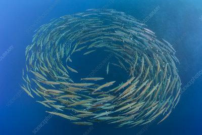 School of Blackfin barracuda forming circle in open water
