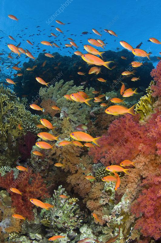 School of Scalefin anthias on reef