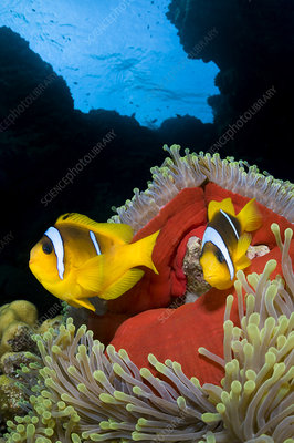 Pair of Red Sea anemonefish in Magnificent sea anemone