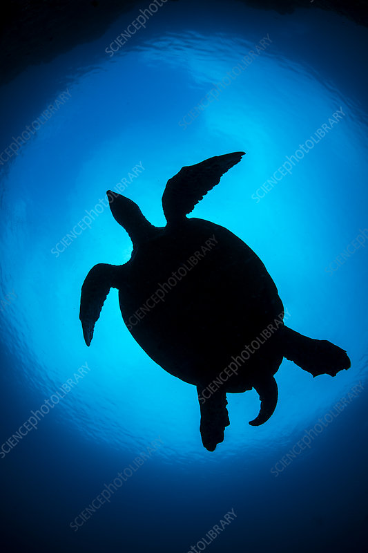 Silhouette of large male Hawksbill turtle swimming