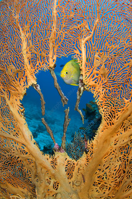 Male Golden damselfish guarding clutch of eggs