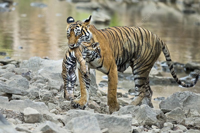 Bengal Tiger female carrying cub