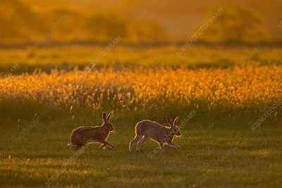 Hare courtship chase in early morning, UK