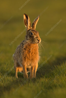 European Hare male during courtship chase, UK