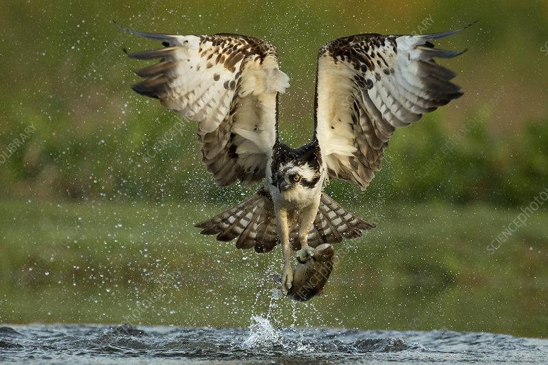 Osprey catching trout, Scotland, UK