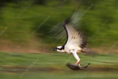 Osprey with trout prey