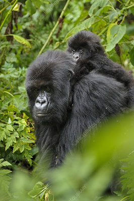 Mountain Gorilla mother carrying baby Rwanda