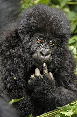 Mountain Gorilla baby looking thoughtful, Rwanda