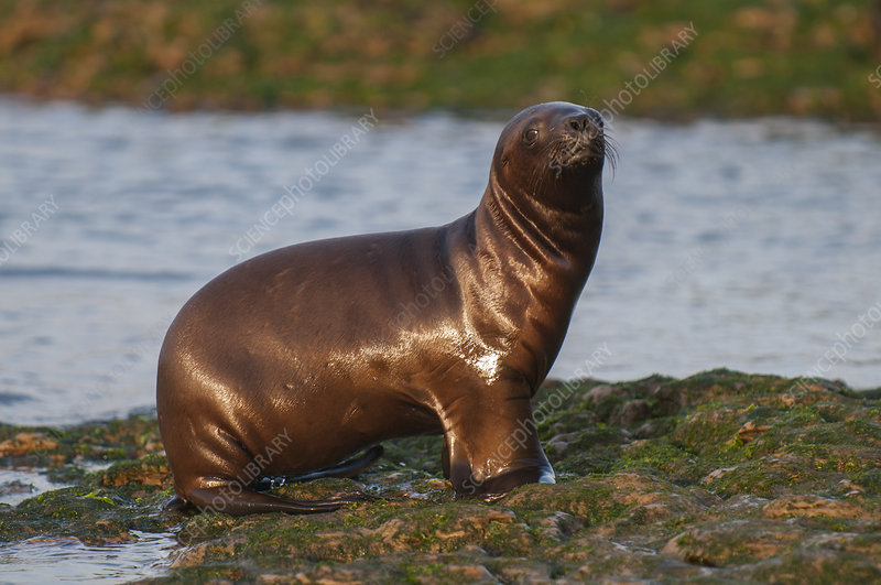 South American sea lion pup