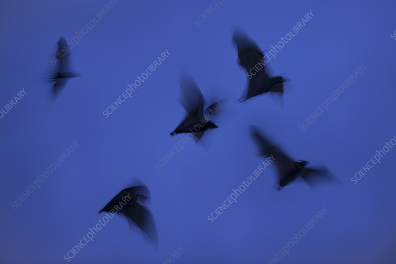 Straw-coloured fruit bats leaving roost site at dusk