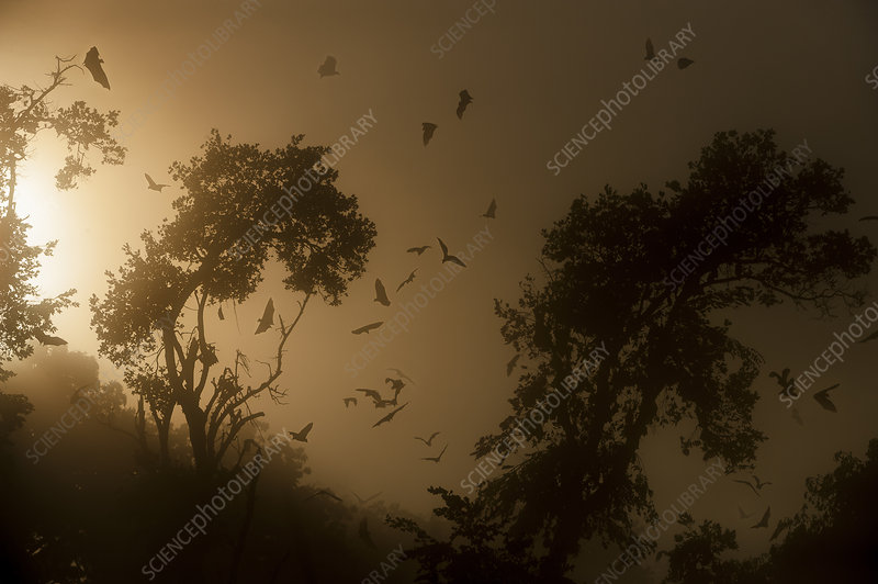 Straw-coloured fruit bats returning to daytime roost