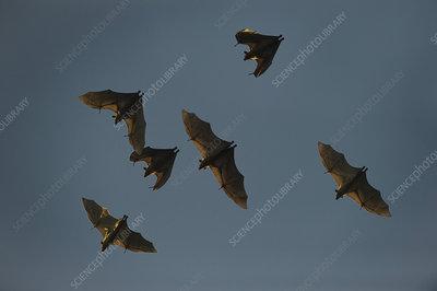 Straw-coloured fruit bats in flight