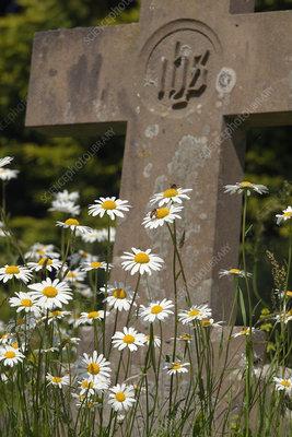 Ox-eye daises (Leucanthemum vulgare) growing in Churchyard
