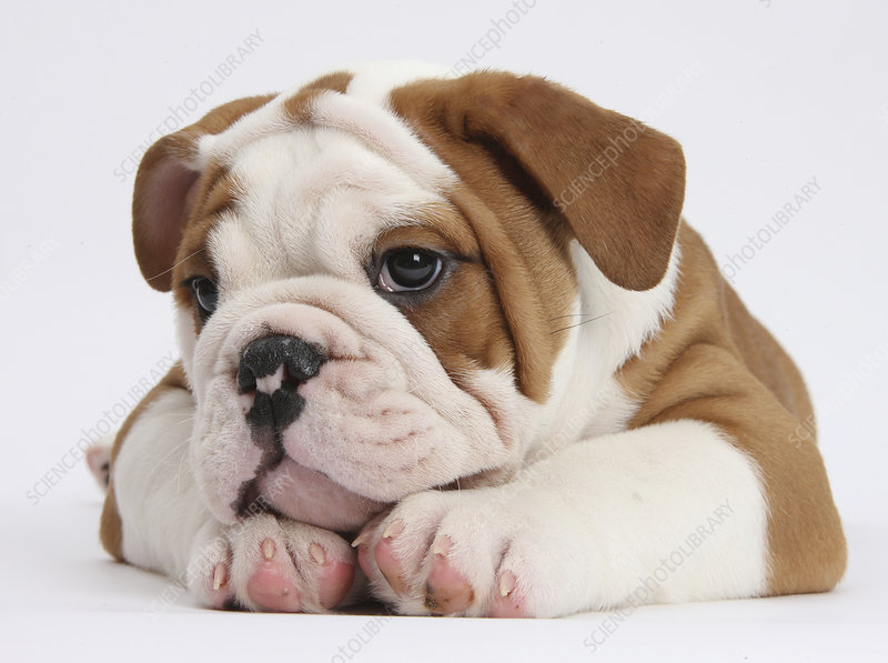 Head of Bulldog puppy with chin on paws