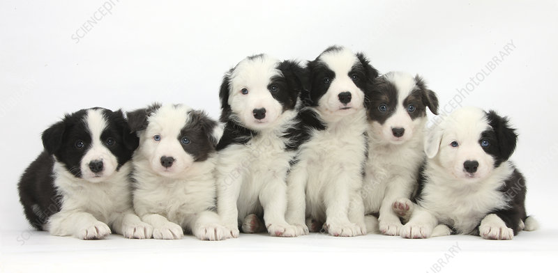 Six Border Collie pups