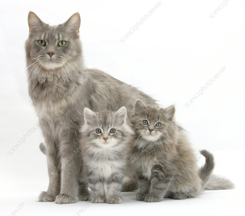 Maine Coon mother cat, with two kittens