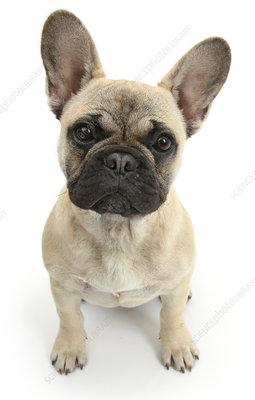 French Bulldog sitting looking up
