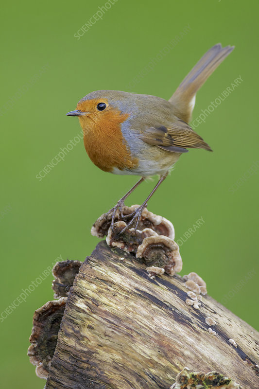 European Robin perched on old tree stump with fungus