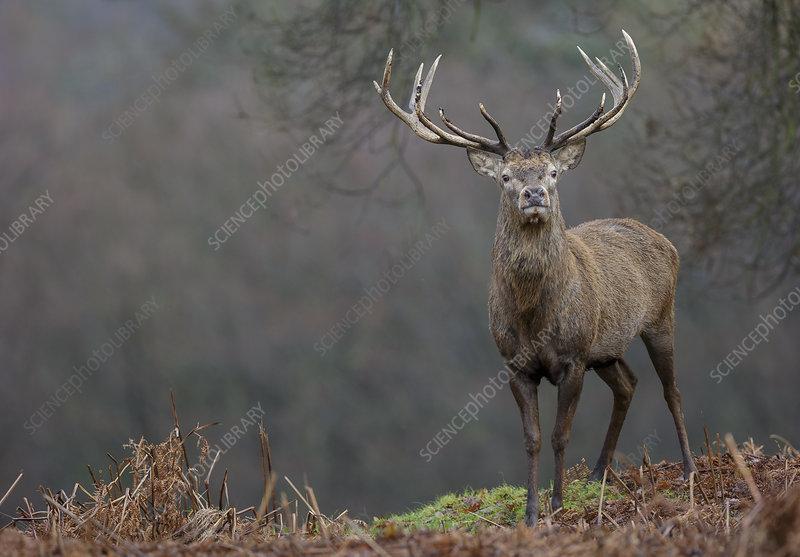 Red deer stag standing on ridge