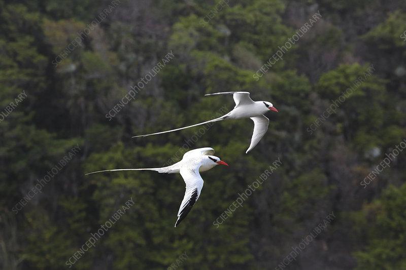 Red-billed tropicbirds in flight, Tobago, West Indies