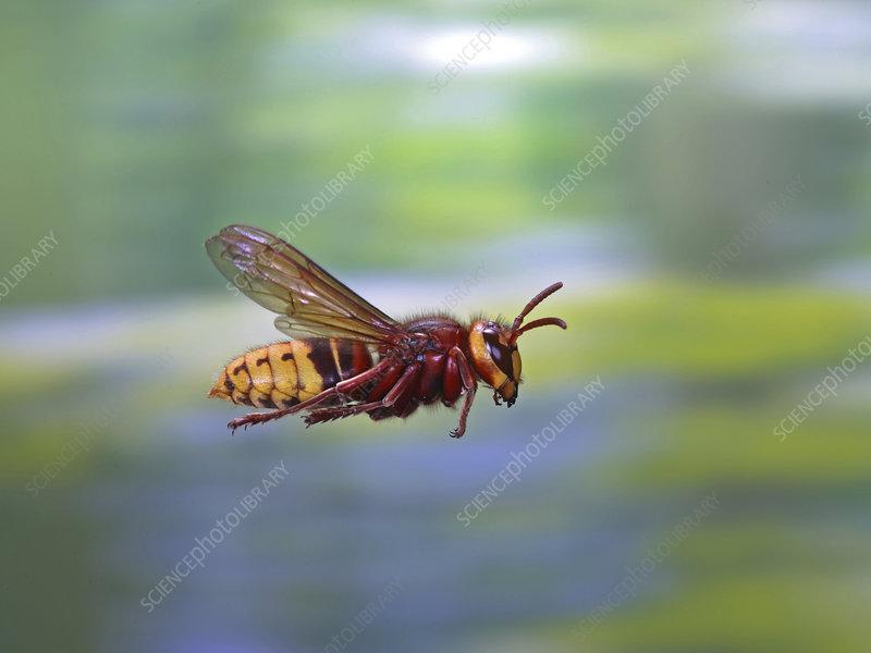 European hornet worker in flight, Surrey, UK