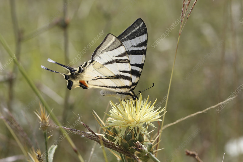 Scarce swallowtail butterfly on Yellow thistle