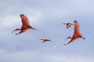 Scarlet Ibis flying into roost sight at dusk