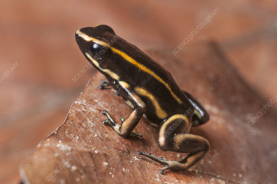 Yellow-striped Poison Dart Frog in leaf litter