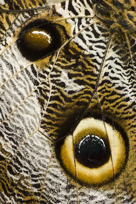 Close up detail of eye spots on wing of Owl-eye butterfly