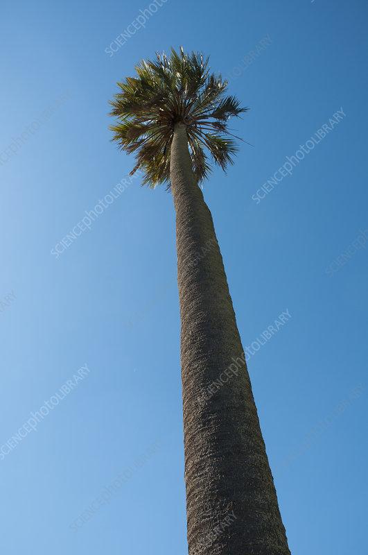 Jelly palm (Batia yatay) tree