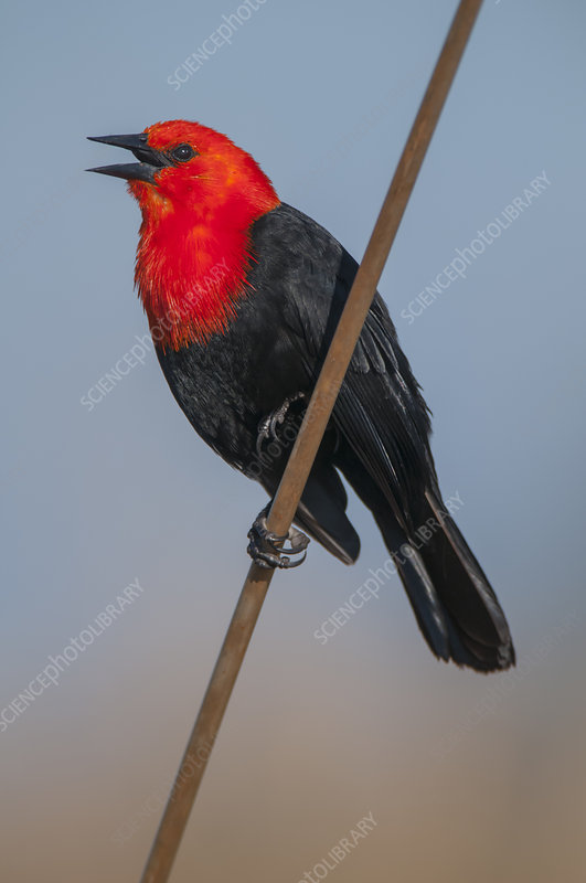 Scarlet-headed black bird calling