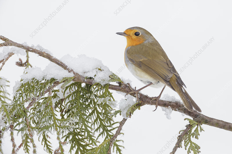 European robin perched on snowy branch, Southern Norway