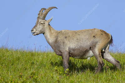 Young male Alpine ibex feeding, Bernese Alps, Switzerland