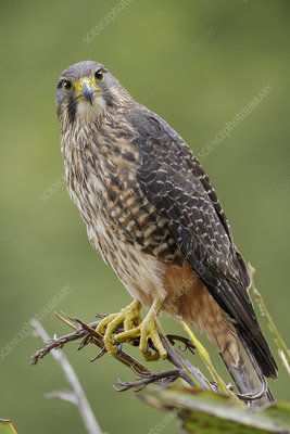 Female New Zealand Falcon perched on flax plant