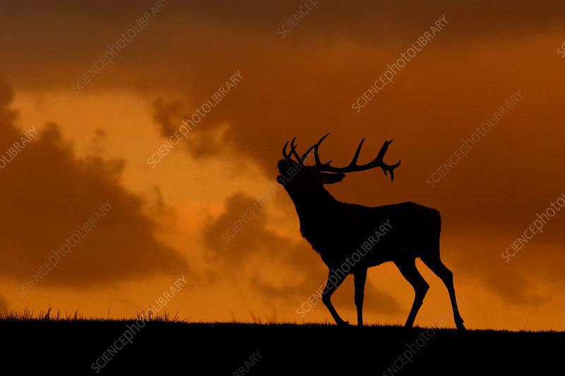 Red deer stag calling, Wales, UK