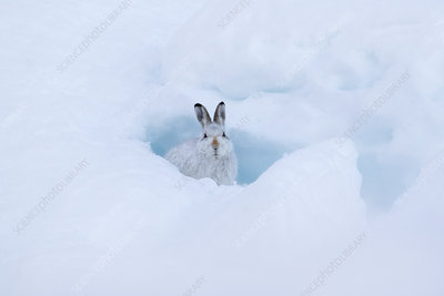 Mountain hare in snow cave, Scotland, UK