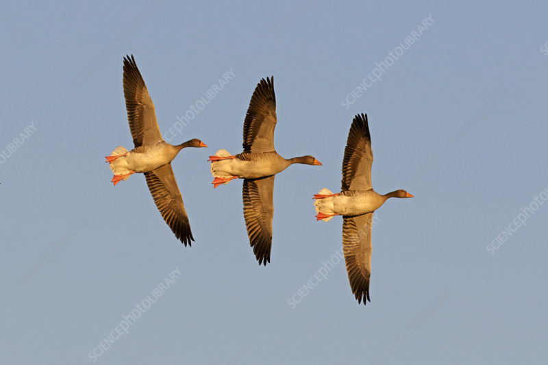 Greylag goose group of three flying
