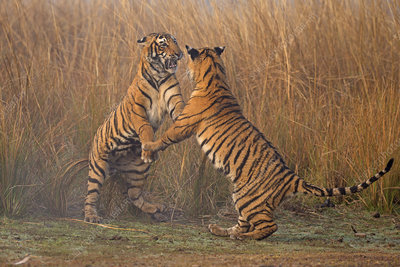 Bengal tiger cubs play fighting