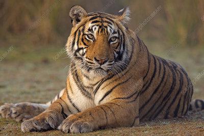 Bengal tiger female