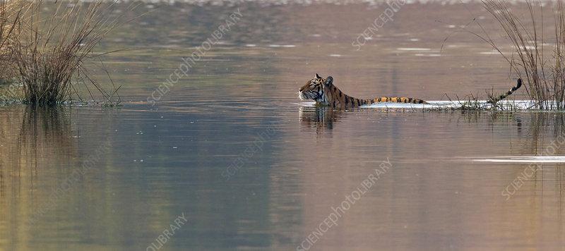 Bengal tiger female swimming in lake