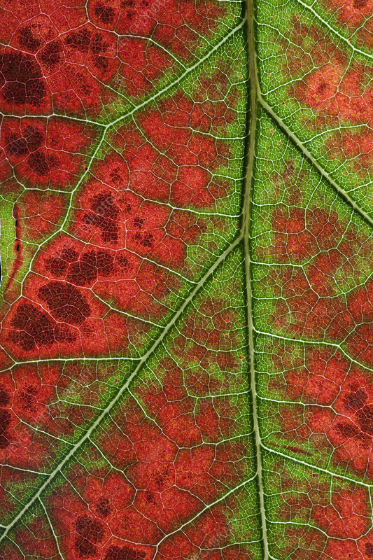 Close up of Leaves of Red Oak (Quercus rubra) in autumn
