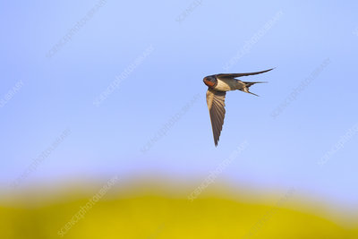 Swallow in flight catching insects, Norfolk, UK