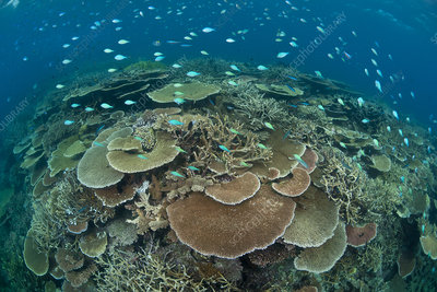 staghorn coral search science photo library