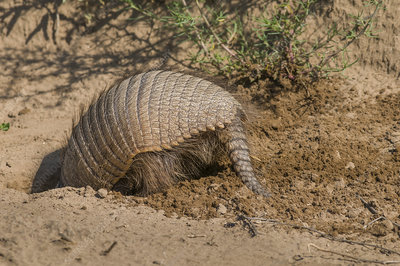 Big hairy armadillo digging, La Pampa, Argentina