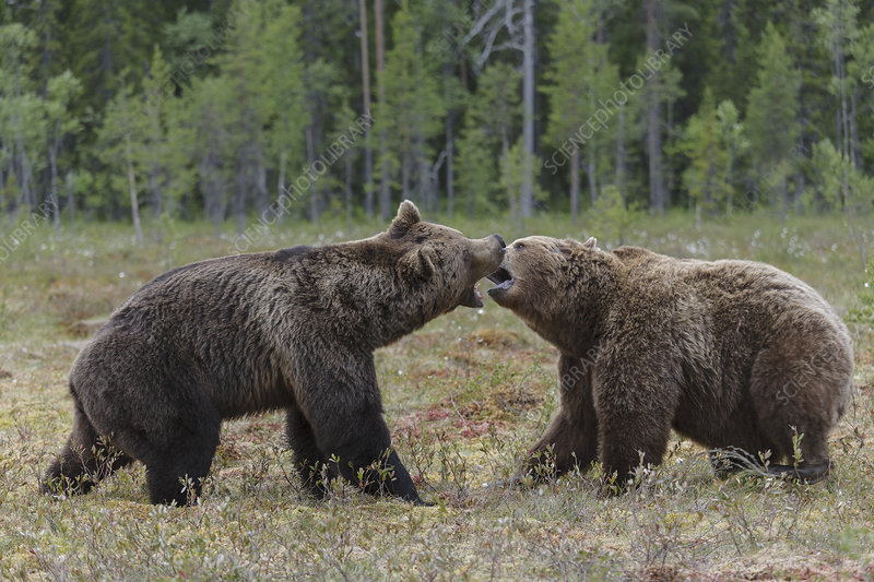 Two male European brown bears fighting in forest clearing