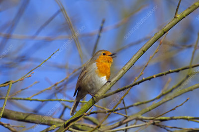 Robin singing, Norfolk, UK