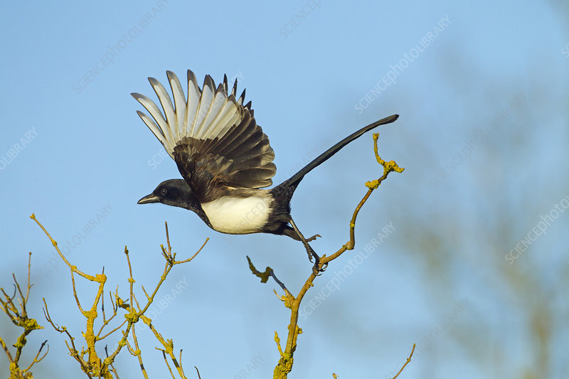 Magpie taking off from hedgerow, Titchwell, Norfolk, UK